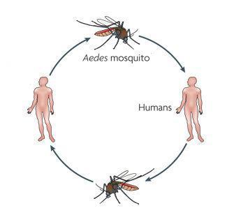 ویروس زیکا (zika) چیست و آیا باید نگران شیوع آن بود؟