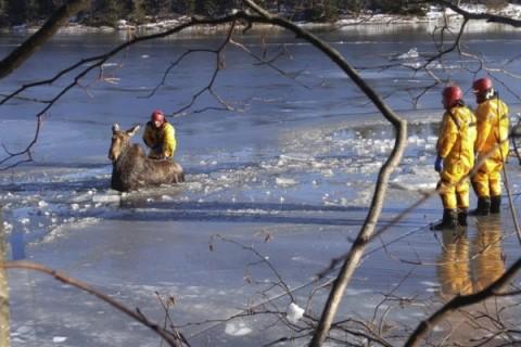 نجات گوزن گرفتار در دریاچه یخ زده