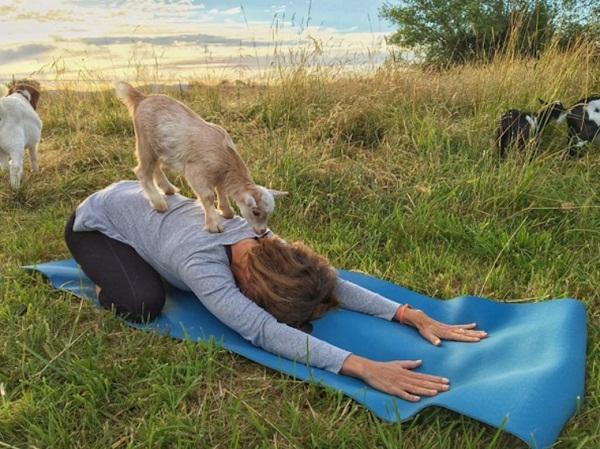 تجربه عجیب یوگا با «بزها»