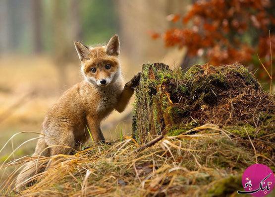 تصاویر: زندگی روباهها در قاب دوربین