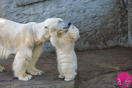 عواطف زیبای مادری در دنیای خرسها