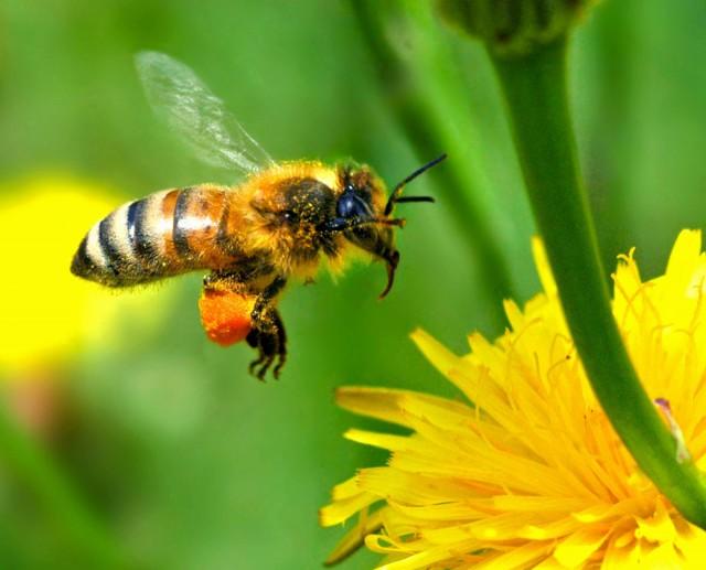 آیا نابودی زمین پس از مرگ زنبورها حقیقت دارد؟!