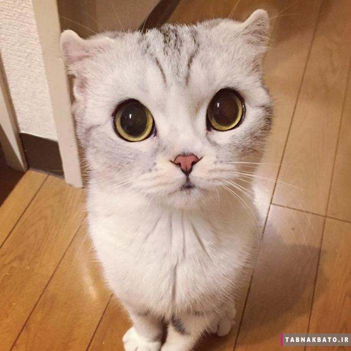 ملاقات با هانا، بچه گربه ژاپنی با چشمانی فوق درشت