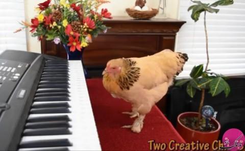 مرغ موسیقیدان با استعداد عجیب در نواختن پیانو