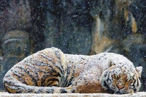 ببر با این پالتو زیر برف میخوابد! +عکس