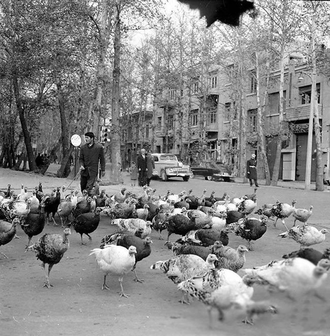 بوقلمون چرانی در خیابانهای تهران + عکس