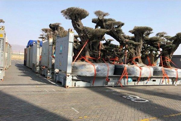 امارات درختهای نادر یمن را به سرقت برد +عکس