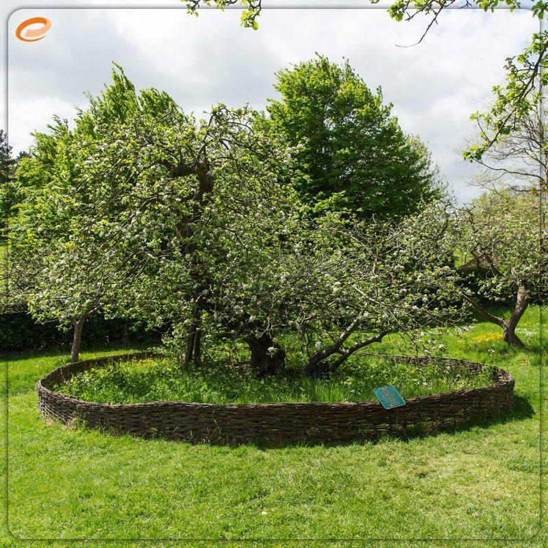 درخت سیب نیوتن کجاست؟ +عکس
