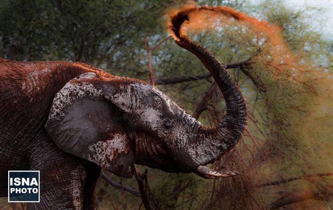 عکس روز نشنال جئوگرافیک؛ حمام خاکِ یک فیل