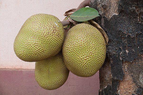 میوه عجیبی که به قحطی پایان می دهد +عکس