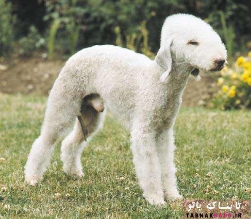 سگی که شبیه گوسفند است