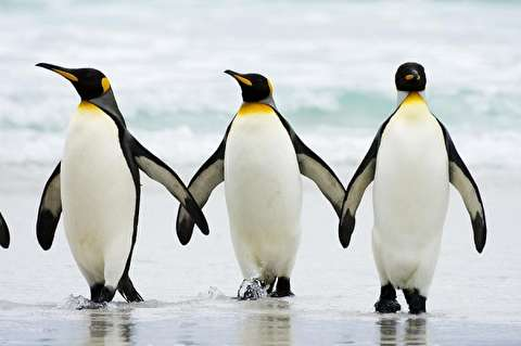 خوددرگیریهای خندهدار پنگوئنها