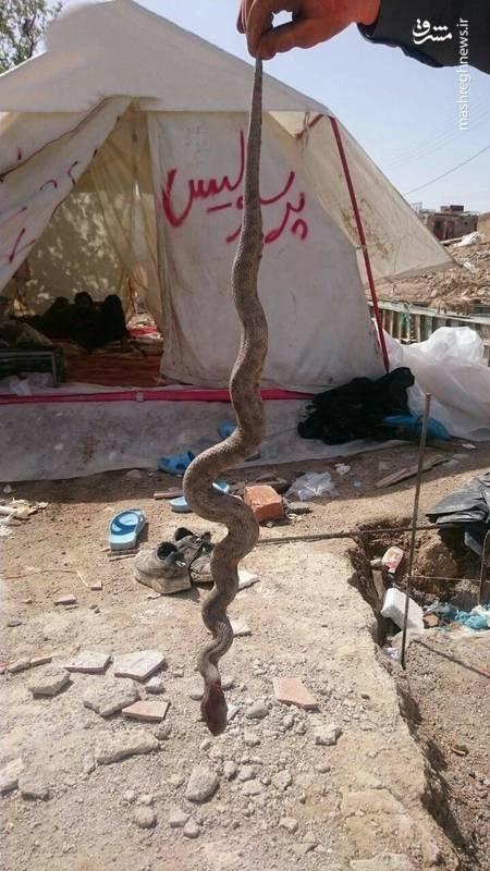 مارهای سمی دردسر جدید زلزلهزدگان +عکس