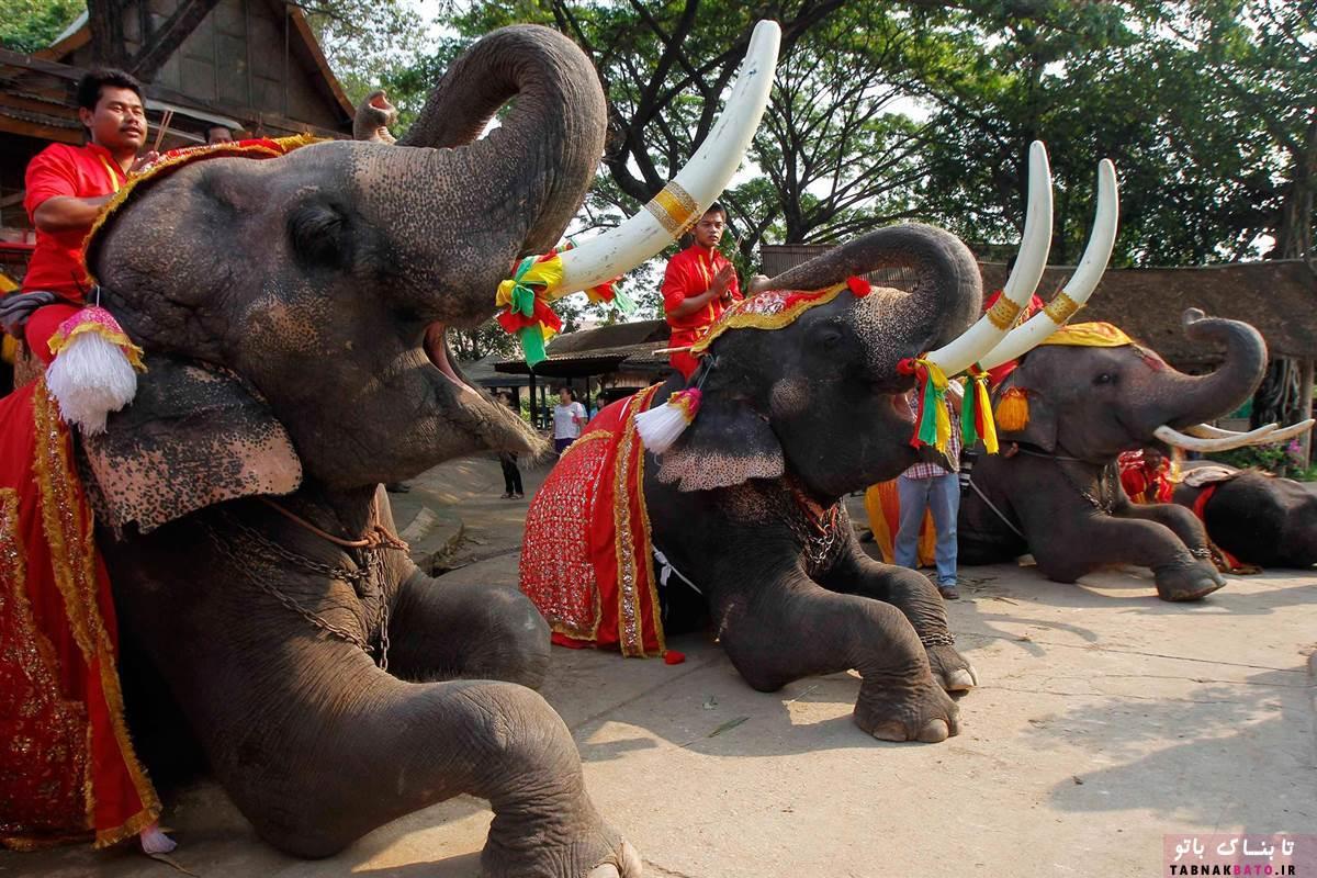 پشت پرده ماساژ فیل ها در تایلند