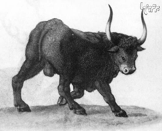 گاوهای ژرمن: هیولاهایی زنده شده +عکس