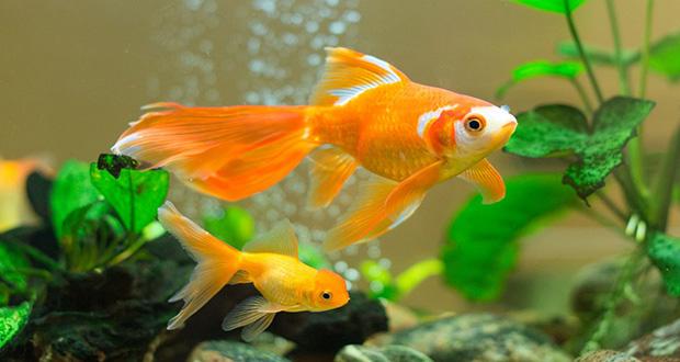 روشهای زنده نگه داشتن طولانی مدت ماهی قرمز عید