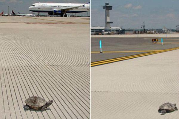 لاک پشتها باند فرودگاه را بستند+عکس