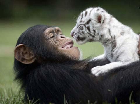 رفاقت شگفت انگیز یک میمون با چند ببر