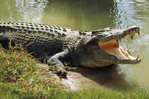 عاقبت فرو بردن سر در دهان تمساح