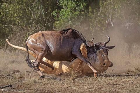 کمین کردن شیر ماده برای شکار گوزن یالدار