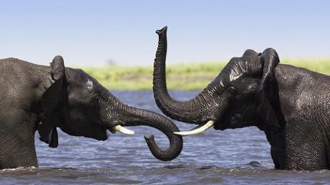 نجات فیلها از غرق شدن در دریا