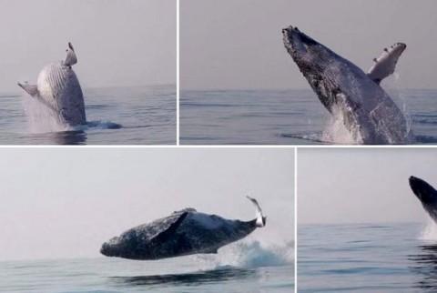 پرش دیدنی و باورنکردنی نهنگ ۴۰ تنی بیرون از آب