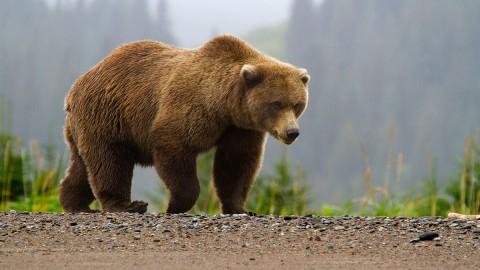 سرعت شگفت انگیز خرس در بالارفتن از درخت