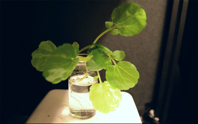 تبدیل جالب گیاه شب بو به چراغ خواب در شب