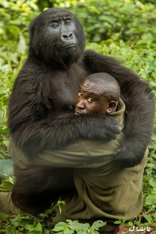 رفتار دوستانه ی گوریل های باغ وحش ویرونگا