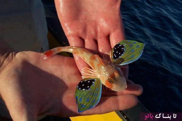ماهی شگفت انگیزی که شبیه پروانه هاست!
