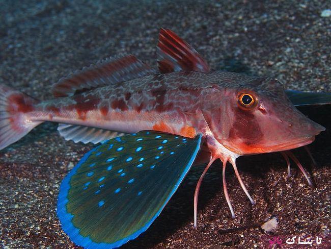 یک نوع ماهی شگفت انگیز که شبیه پروانه ها است!