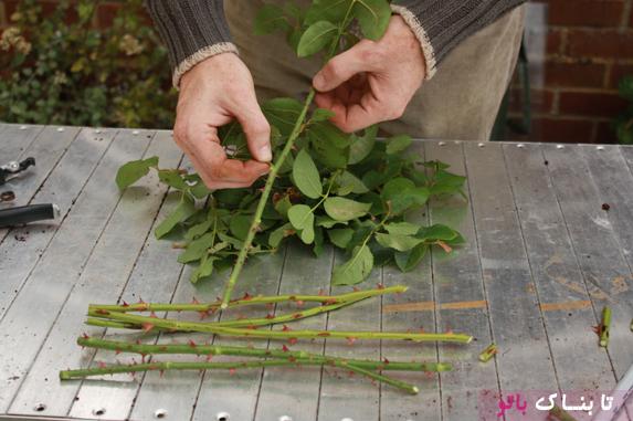 ترفندی جالب برای تکثیر گل رز چیده شده