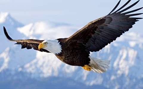 لحظاتی مهیج از حمله عقاب به بزهای کوهی