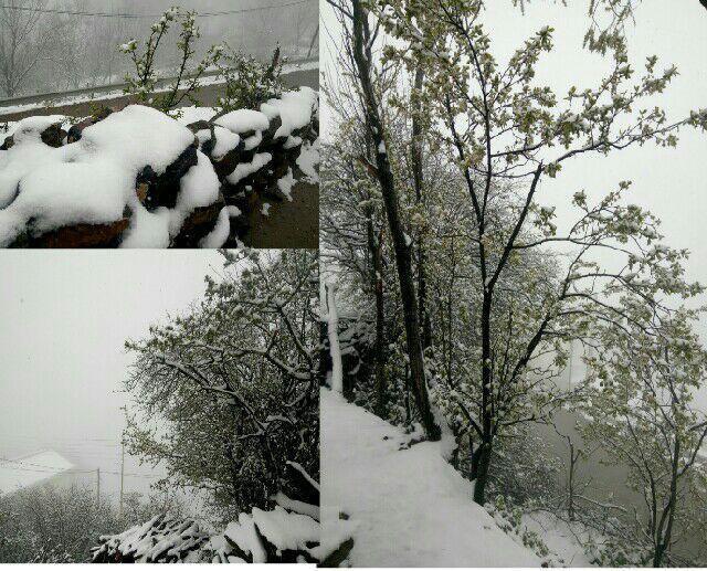 غافلگیری نوشهریها از بارش برف در اواخر فروردین +عکس