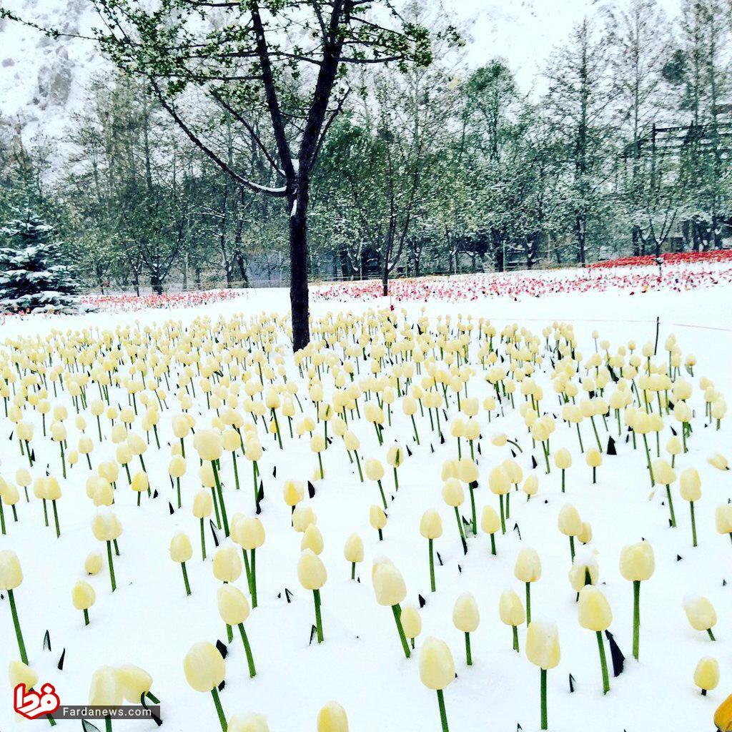 تصویری زیبا از باغ لاله کرج و برف بهاری