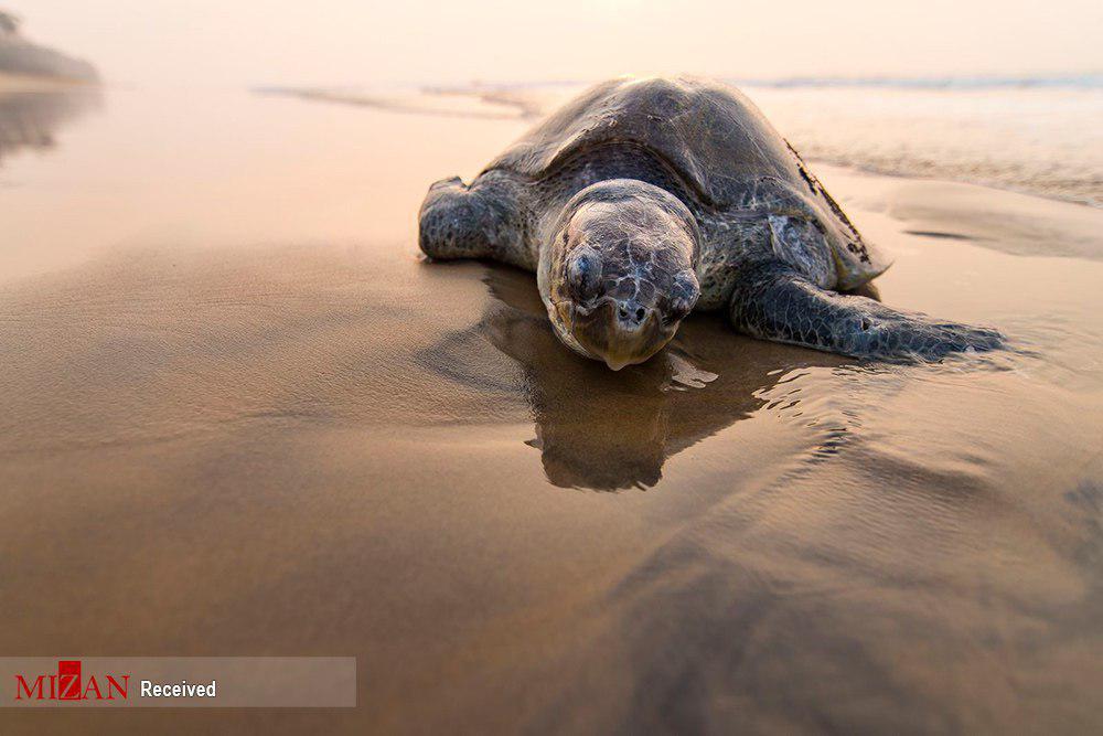 لاکپشت مادر پس از تخم گذاری+عکس
