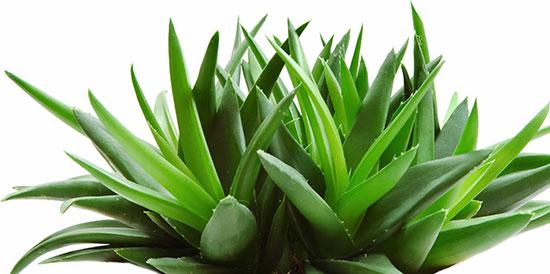 گیاهان آپارتمانیای که هوای خانه را تصفیه میکنند