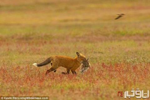 جنگ عقاب و روباه بر سر شکار یک خرگوش+عکس