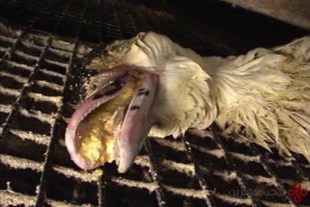 جگر چرب اردک شکنجه شده، یک غذای گران فرانسوی+عکس