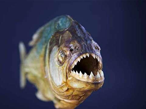 حمله ماهی گوشتخوار پیرانا به قربانیان خود