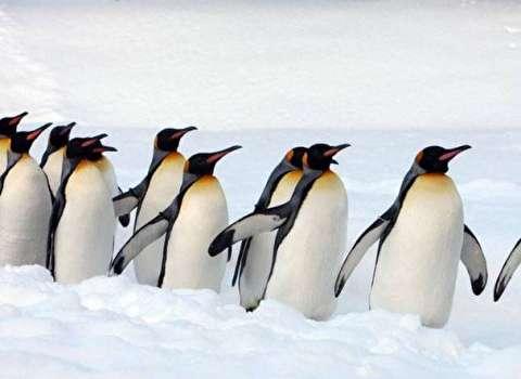 برگزاری جشنواره یخی چینیها با حضور پنگوئنها