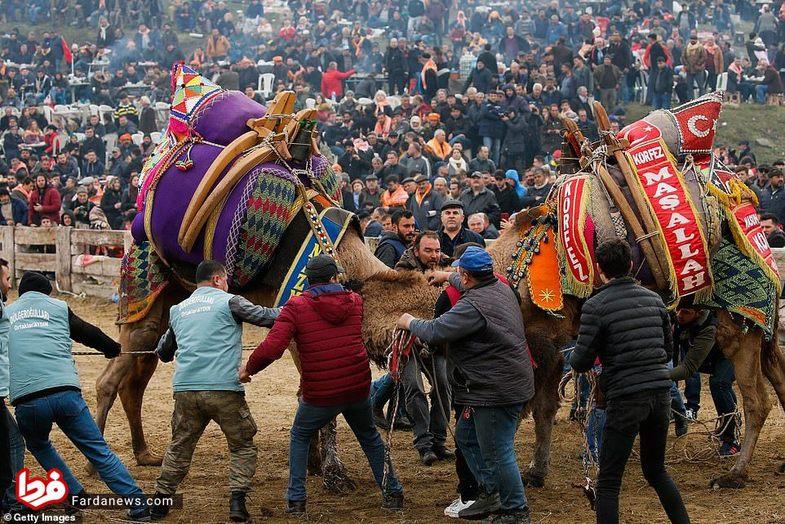 عجیبترین مسابقه شترها که در عمرتان ندیده اید+عکس