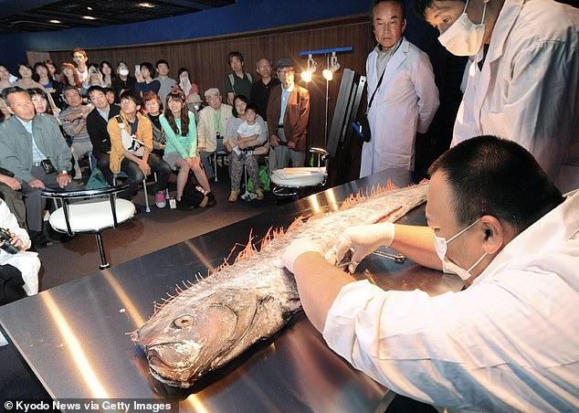 ماهی های مرموز هشداری بر وقوع سونامی در ژاپن