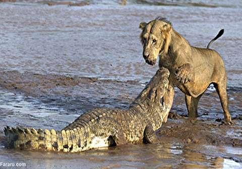 جان سالم به در بردن شیر پس از حمله تمساح