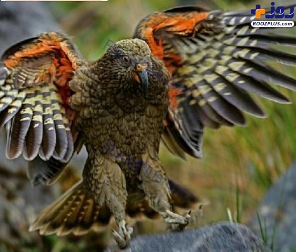 طوطی که توانایی شکار یک بره را دارد +عکس