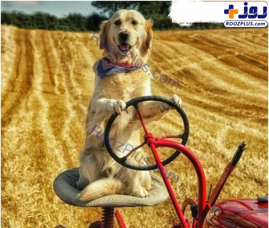 سگی که برای کمک به صاحبش در مزرعه تراکتور میراند+عکس