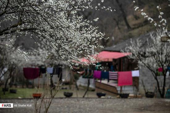 شکوفههای بهاری در گیلان+عکس