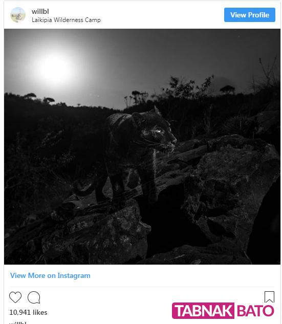تصاویر حیرت آور از پلنگ سیاه پس از یک قرن در کنیا