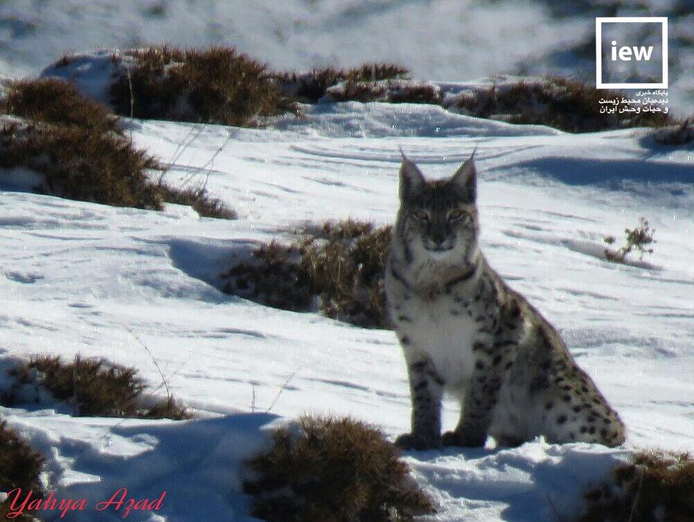 گربه وحشی ایرانی در الموت شرقی دیده شد+عکس