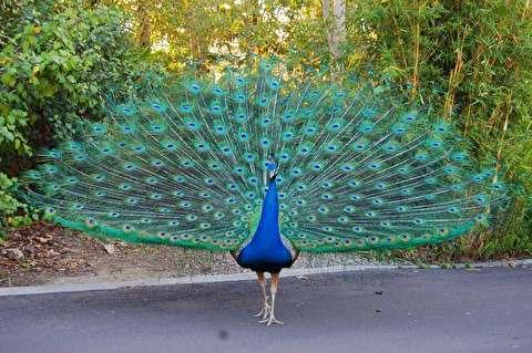 شهری که طاووس ها حیوان اهلی منازل هستند!